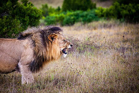 lion standing on dried grass