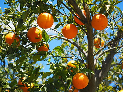 shallow focus of tree with orange fruits