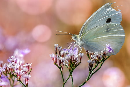 closeup photo of a cabbage butterfly on a purple petaled flower