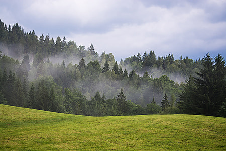 green grassland in front of green pine trees