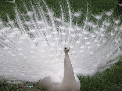 white peacock on green grass field during daytime