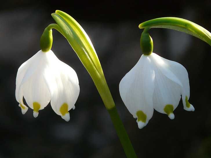 two white-and-green petaled flowers in closeup photography