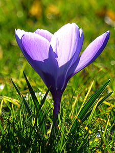 close up photography of purple crocus