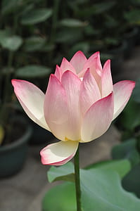 closeup photo of pink and white petaled flower