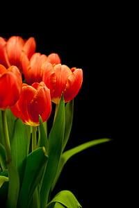 photo of orange tulip flowers