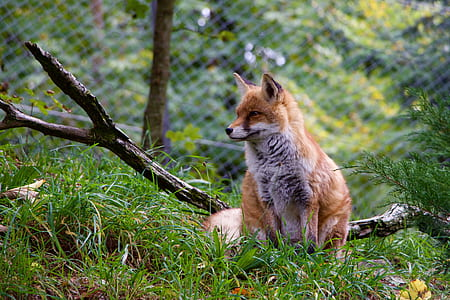 brown fox on green grass field