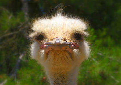 portrait photo of ostrich