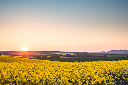 Beautiful Sunset Over The Yellow Rapeseed Field