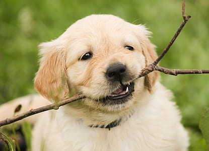 golden retriever puppy biting stick