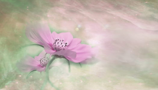 pink cosmos flower painting