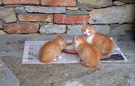 three orange tabby cats on neewspaper