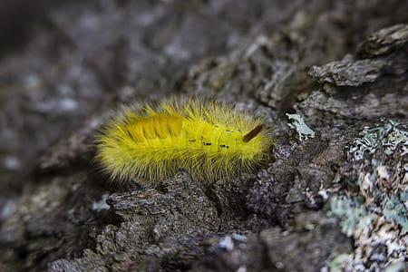 Yellow Tussock Moth Caterpillar on Black Rock Close Up Photography