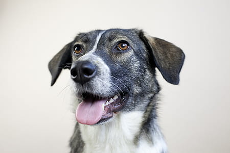 closeup photo of a medium short-coated white and tan dog