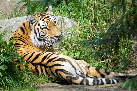 closeup photography of tiger lying on grass