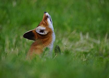 black and brown fox on bush