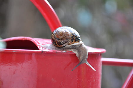 brown snail on red watering can