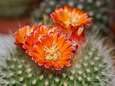 closeup photography of orange cactus flowers