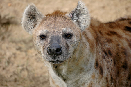 wildlife photography of brown and gray hyena