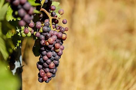 bundle of purple grapes