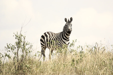 zebra on grassy field