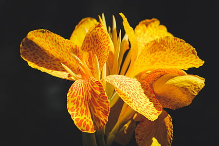 selective focus photo of yellow canna lilies