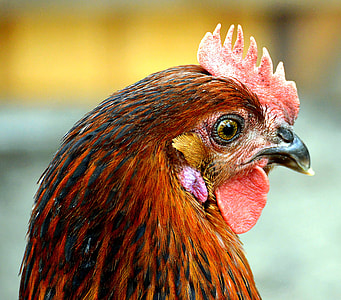 close-up photography of red rooster's face