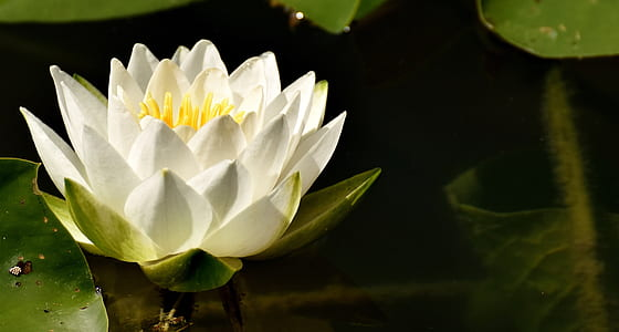 white petaled flower on water at daytime
