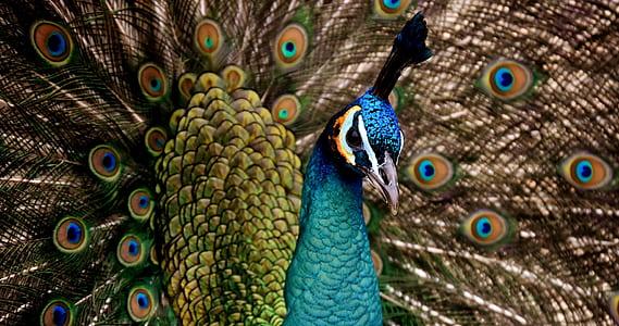 Peacock bust
