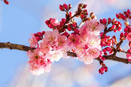 cherry blossom in macro shot photography