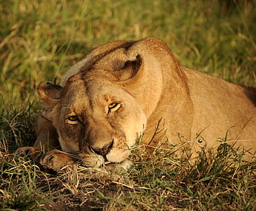 wildlife photography of laying lioness on ground