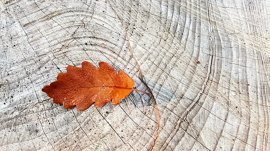 brown maple leaf on white surface