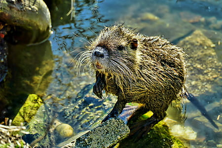 close-up photo of brown beaver