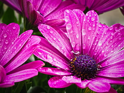 pink Osteospermum flowers in bloom close up photo