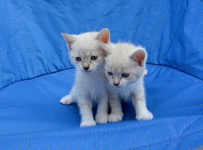 two white kittens on blue mat