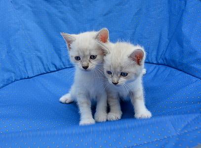 two white kittens on blue mat