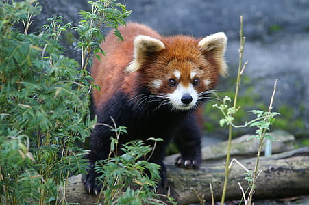 red panda on brown branch
