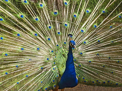 animal photography of peacock
