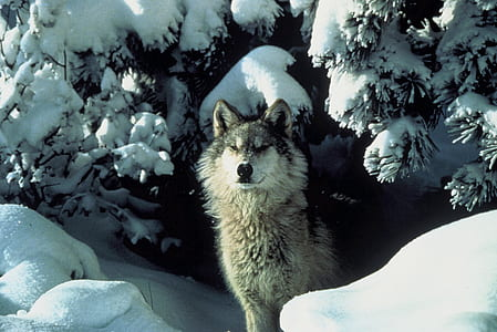 brown wolf standing on snow during daytime