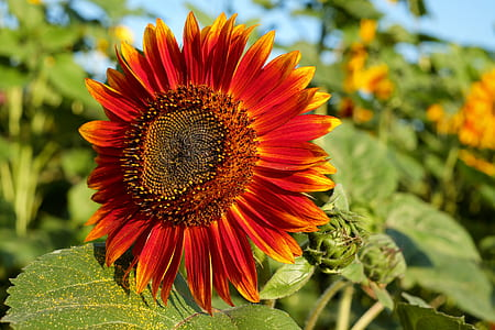 closeup photography of yellow and red sunflower