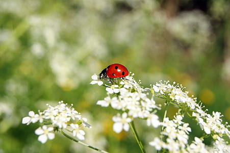 shallow focus photography of red and black lady bug on white flowers