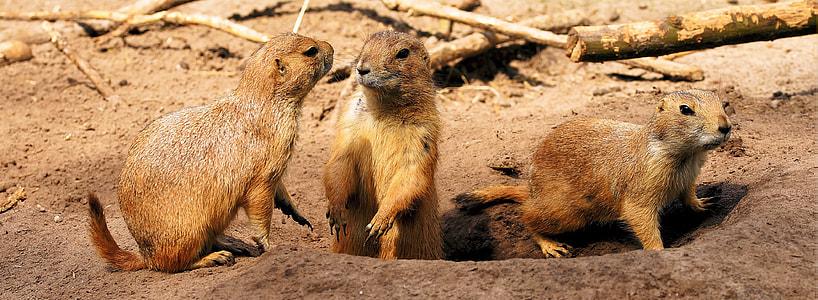 three brown squirrels