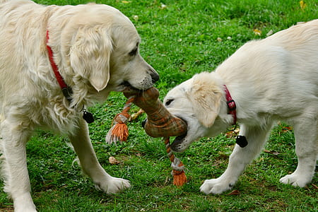two dog biting brown bone toy surrounding by grass field