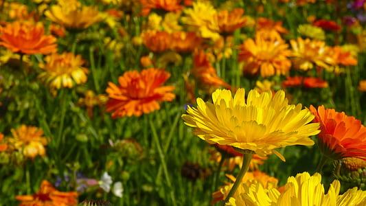 yellow and orange calendula flower field