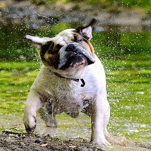 adult white and tan English bulldog playing on rain during daytime