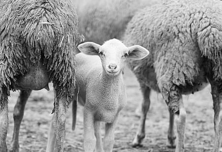 grayscale photo of lamb