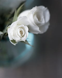 selective focus photography of white rose