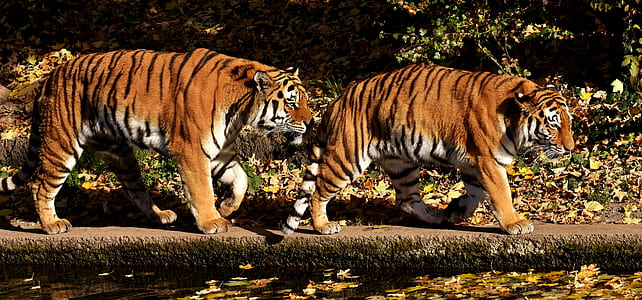 two tigers near body of water at daytime