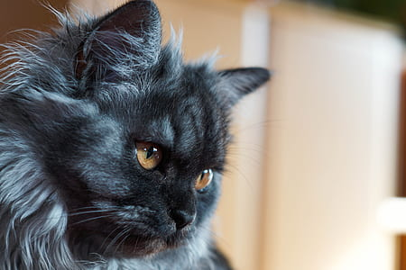 adult grey cat