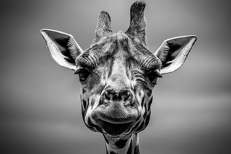 grayscale of giraffe