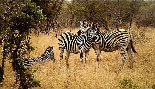three black-and-white zebras photo during daytime